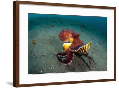A Coconut Octopus, Lembeh Strait, Sulawesi, Indonesia--Framed Art Print