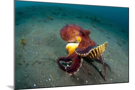 A Coconut Octopus, Lembeh Strait, Sulawesi, Indonesia--Mounted Photographic Print