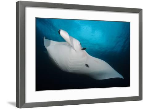 Underside View of a Giant Oceanic Manta Ray, Raja Ampat, Indonesia--Framed Art Print