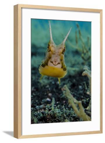 Longhorn Cowfish, Lembeh Strait, Indonesia--Framed Art Print