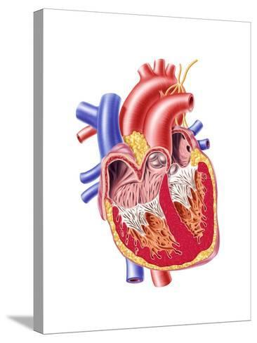 Anatomy of Human Heart, Cross Section--Stretched Canvas Print