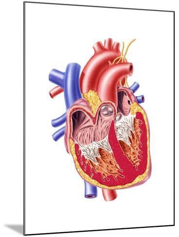 Anatomy of Human Heart, Cross Section--Mounted Art Print