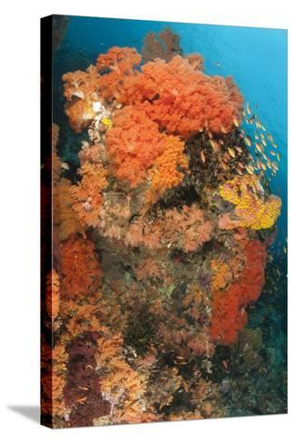Colorful Reefs Covered in Orange Dendronephthya Soft Corals--Stretched Canvas Print