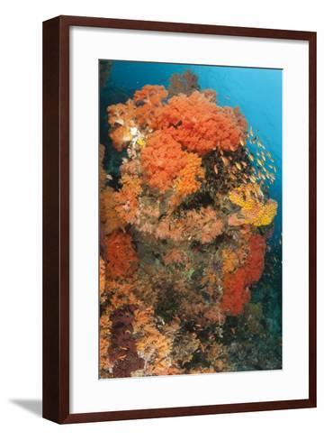 Colorful Reefs Covered in Orange Dendronephthya Soft Corals--Framed Art Print