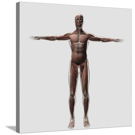 Anatomy of Male Muscular System, Front View--Stretched Canvas Print