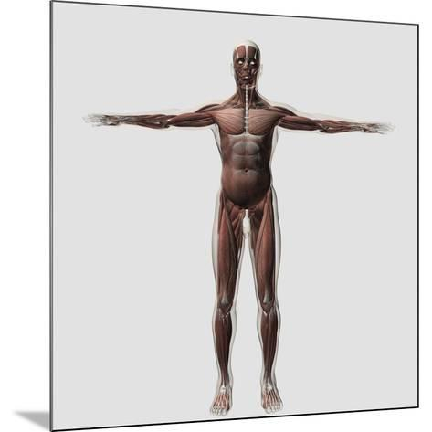Anatomy of Male Muscular System, Front View--Mounted Art Print