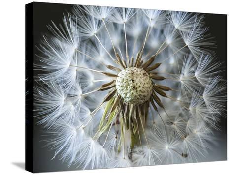 Dandelion Seed-Margaret Morgan-Stretched Canvas Print