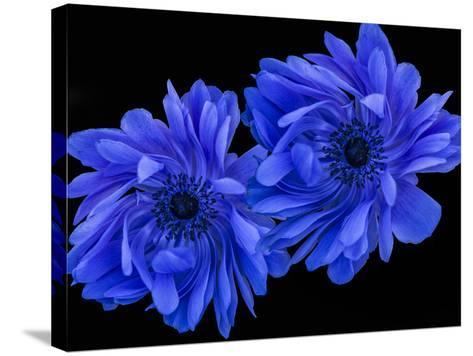 Blue Anemone-Margaret Morgan-Stretched Canvas Print