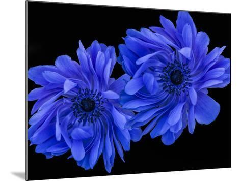 Blue Anemone-Margaret Morgan-Mounted Photographic Print