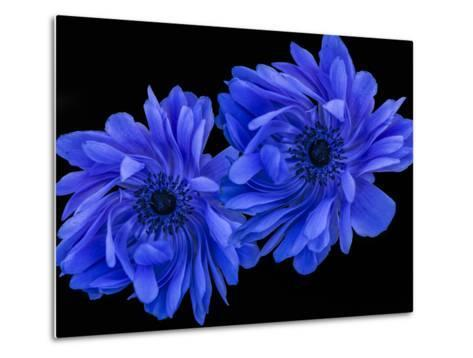 Blue Anemone-Margaret Morgan-Metal Print