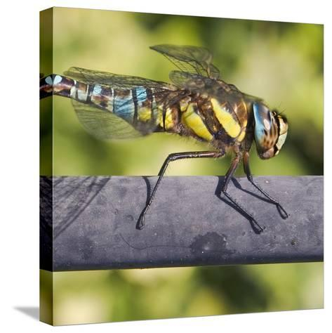 Southern Darter-Adrian Campfield-Stretched Canvas Print