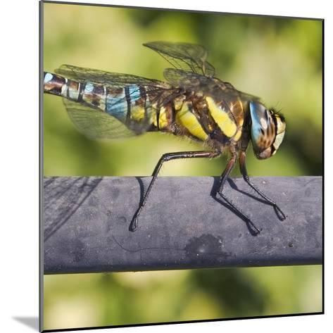 Southern Darter-Adrian Campfield-Mounted Photographic Print