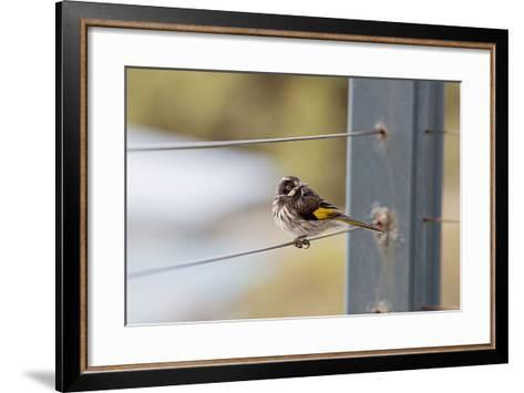 New Holland Honey Eater-Margaret Morgan-Framed Art Print