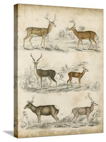 Non-Embellished Species of Deer--Stretched Canvas Print