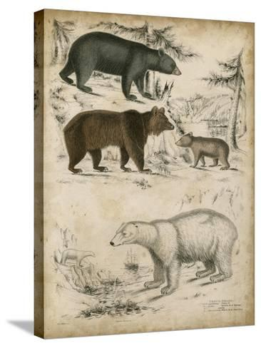 Non-Embellished Species of Bear--Stretched Canvas Print