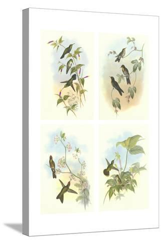 Miniature Gould Hummingbirds--Stretched Canvas Print