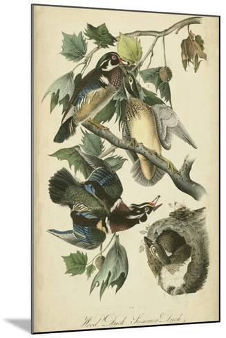 Audubon Wood Duck-John James Audubon-Mounted Art Print