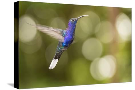 A Violet Sabrewing Hummingbird, Campylopterus Hemileucurus, in Flight-Michael Melford-Stretched Canvas Print