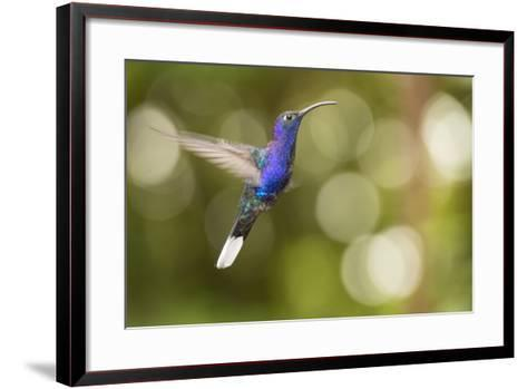 A Violet Sabrewing Hummingbird, Campylopterus Hemileucurus, in Flight-Michael Melford-Framed Art Print