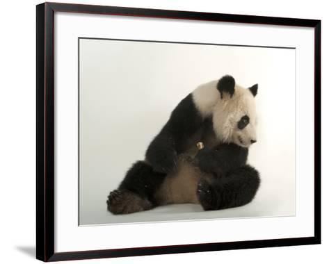 A Giant Panda, Ailuropoda Melanoleuca, at Zoo Atlanta-Joel Sartore-Framed Art Print