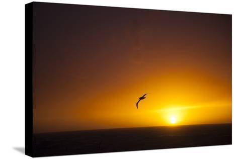 A Wandering Albatross at Sunset Near Elephant Island, Scotia Sea, Antarctica-Michael Melford-Stretched Canvas Print