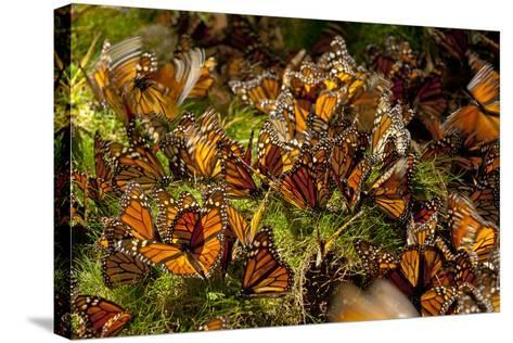 Monarch Butterflies, Danaus Plexippus, Drinking from Wet Grasses Along a Mountain Stream-Medford Taylor-Stretched Canvas Print