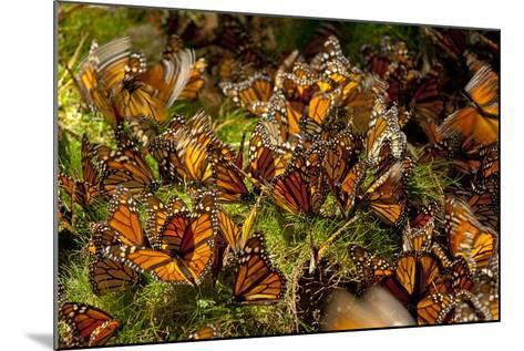 Monarch Butterflies, Danaus Plexippus, Drinking from Wet Grasses Along a Mountain Stream-Medford Taylor-Mounted Photographic Print