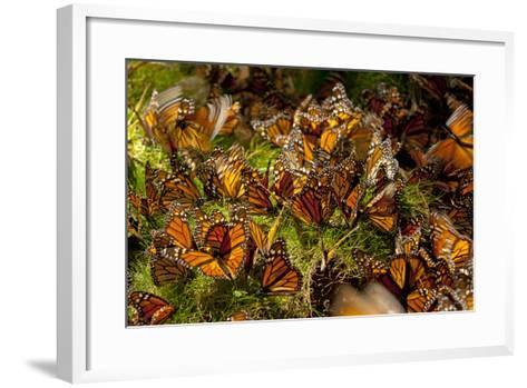 Monarch Butterflies, Danaus Plexippus, Drinking from Wet Grasses Along a Mountain Stream-Medford Taylor-Framed Art Print