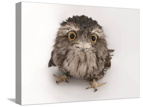 A Tawny Frogmouth Owl, Podargus Strigoides, at the Fort Worth Zoo-Joel Sartore-Stretched Canvas Print