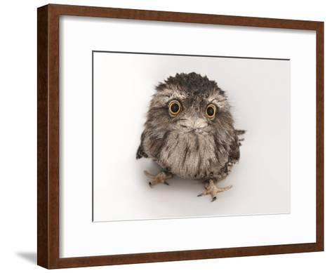 A Tawny Frogmouth Owl, Podargus Strigoides, at the Fort Worth Zoo-Joel Sartore-Framed Art Print