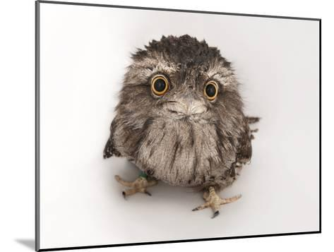 A Tawny Frogmouth Owl, Podargus Strigoides, at the Fort Worth Zoo-Joel Sartore-Mounted Photographic Print