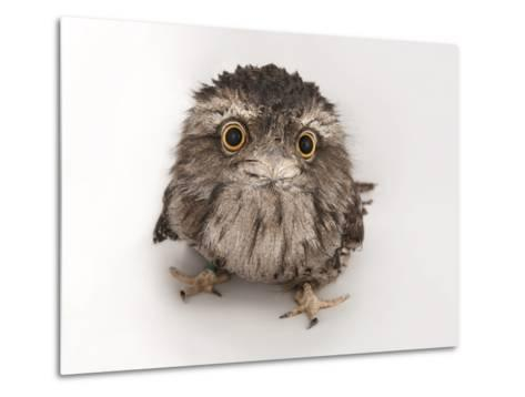 A Tawny Frogmouth Owl, Podargus Strigoides, at the Fort Worth Zoo-Joel Sartore-Metal Print