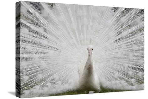 Portrait of a Leucistic Indian Peacock, Pavo Cristatus, with its Tail Feathers Spread-Joe Petersburger-Stretched Canvas Print