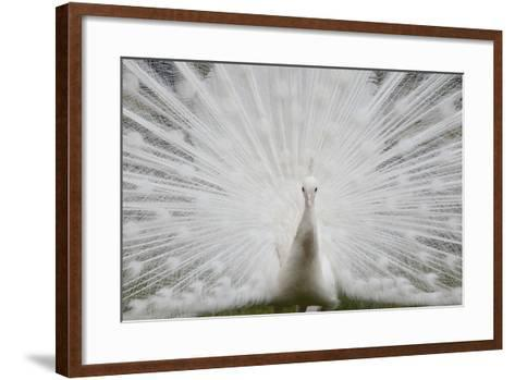Portrait of a Leucistic Indian Peacock, Pavo Cristatus, with its Tail Feathers Spread-Joe Petersburger-Framed Art Print