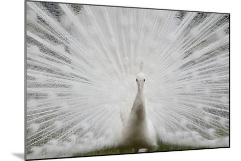 Portrait of a Leucistic Indian Peacock, Pavo Cristatus, with its Tail Feathers Spread-Joe Petersburger-Mounted Photographic Print