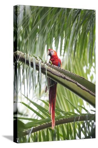A Scarlet Macaw Perching in a Palm Tree-Michael Melford-Stretched Canvas Print