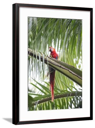 A Scarlet Macaw Perching in a Palm Tree-Michael Melford-Framed Art Print