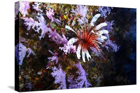 A Lionfish with Venomous Spines Swimming Vertically Up a Coral Wall-Jason Edwards-Stretched Canvas Print