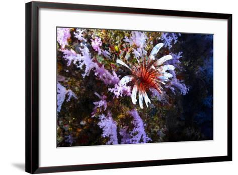 A Lionfish with Venomous Spines Swimming Vertically Up a Coral Wall-Jason Edwards-Framed Art Print