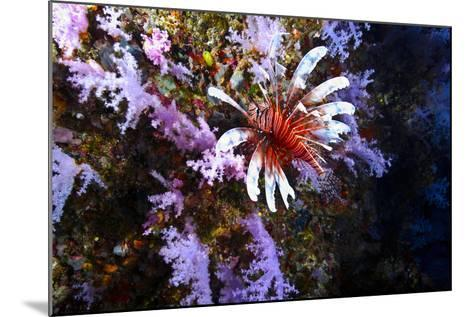 A Lionfish with Venomous Spines Swimming Vertically Up a Coral Wall-Jason Edwards-Mounted Photographic Print