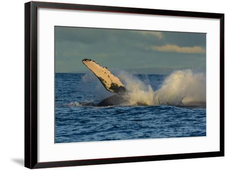 A Humpback Whale Breaches in the Pacific-Ralph Lee Hopkins-Framed Art Print
