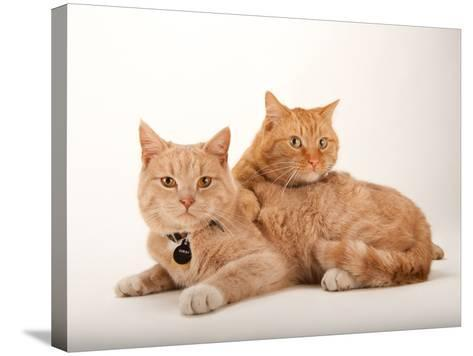 A Studio Portrait of Two Cats Named Romey and Gorby-Joel Sartore-Stretched Canvas Print