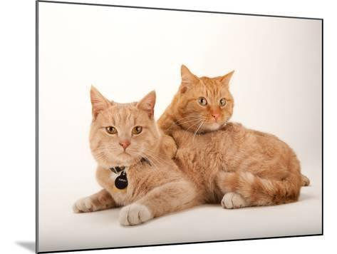 A Studio Portrait of Two Cats Named Romey and Gorby-Joel Sartore-Mounted Photographic Print