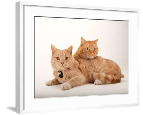 A Studio Portrait of Two Cats Named Romey and Gorby-Joel Sartore-Framed Art Print