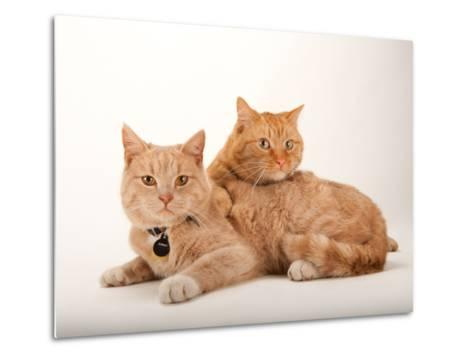 A Studio Portrait of Two Cats Named Romey and Gorby-Joel Sartore-Metal Print