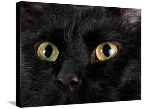 Studio Portrait of a Cat Named Amadeus Wolfgang Meowzart-Joel Sartore-Stretched Canvas Print