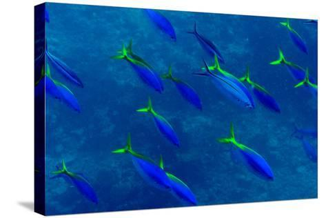A Shoal of Yellow Fusilier Fish Swim in Unison Down a Coral Reef Wall-Jason Edwards-Stretched Canvas Print