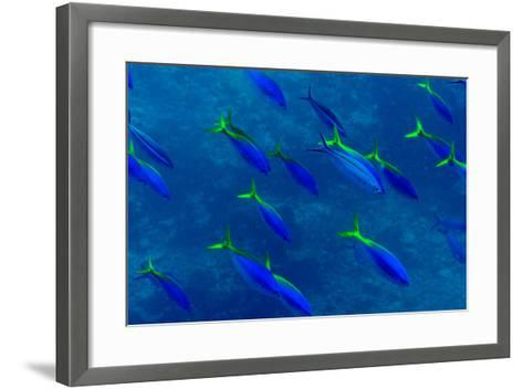 A Shoal of Yellow Fusilier Fish Swim in Unison Down a Coral Reef Wall-Jason Edwards-Framed Art Print
