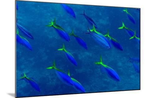 A Shoal of Yellow Fusilier Fish Swim in Unison Down a Coral Reef Wall-Jason Edwards-Mounted Photographic Print