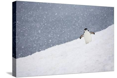 Portrait of a Chinstrap Penguin, Pygoscelis Antarctica, in a Snow Shower-Ira Meyer-Stretched Canvas Print